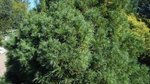 Curly pine